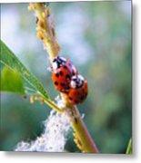 Ladybug Beetles Mating Near Aphids    Spring    Indiana Metal Print