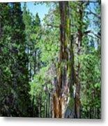 Lake Tahoe Tree Metal Print