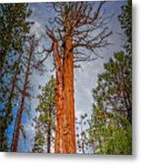 Lake Tahoe Trees On 89  Metal Print