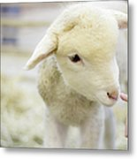 Lamb At Denver Stock Show Metal Print by Anda Stavri Photography