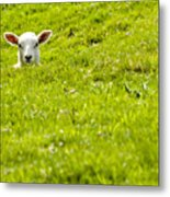 Lamb In A Dip Metal Print