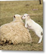 Lamb Jumping On Mom Metal Print