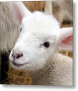 Lamb Metal Print by Michelle Calkins