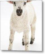 Lamb Standing Metal Print