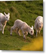 Lambs On The Meadow Metal Print