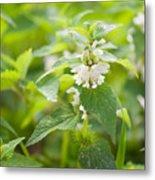 Lamium Album White Flowers Macro Metal Print