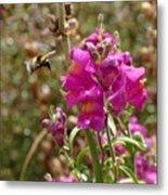 Landing Bumblebee Metal Print