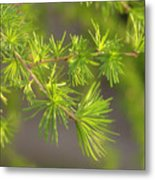 Larch Branch And Foliage Metal Print