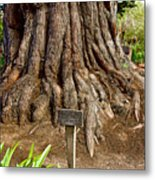 Large Cypress Tree Trunk In Carmel Mission-california  Metal Print
