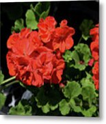 Large Red Begonia Bloom Metal Print