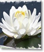 Large Water Lily With White Border Metal Print