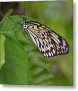 Large White Tree Nymph Butterfly On Green Foliage Metal Print