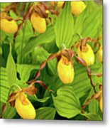 Large Yellow Lady's Slipper  Metal Print