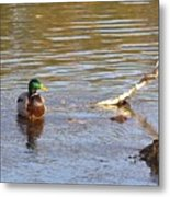 Last Mallard Of Autumn         October       Indiana    Metal Print