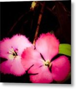 Last Of The Pink Dianthus Flowers Metal Print
