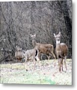 Late Winter Whitetails Metal Print