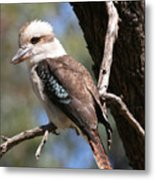 Laughing Kookaburra A Metal Print