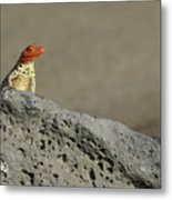Lava Lizard On Lava Rock Metal Print