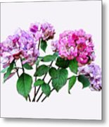 Lavender And Rose Hydrangeas Metal Print