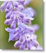 Lavender Blooms Metal Print