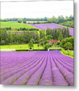 Lavender Farms In Sevenoaks Metal Print