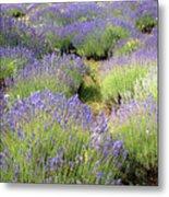 Lavender Field, Tihany, Hungary Metal Print