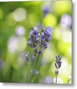 Lavender Garden Metal Print by Frank Tschakert
