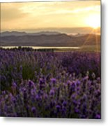 Lavender Glow Metal Print