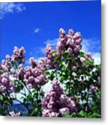 Lavender Lilacs Metal Print