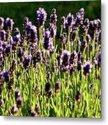 Lavender Pano Metal Print