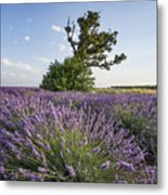 Lavender Provence  Metal Print