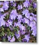 Lavender Rhododendrons Metal Print