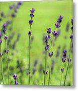 Lavender Spikes  Metal Print
