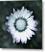 Lawn Daisy - Toned Metal Print
