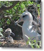 Laysan Albatross Chick Metal Print