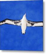 Laysan Albatross Metal Print