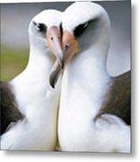 Laysan Albatross Phoebastria Metal Print