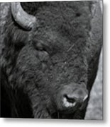 Lazy Buffalo Metal Print by Clinton Nelson