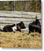 Lazy Cows And Weathered Wood Metal Print