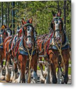 Leading The Way-budweiser Clydesdales Metal Print