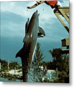 Leaping Dolphins At Hawks Cay Metal Print