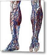 Leg Blood Vessels, Anatomical Metal Print