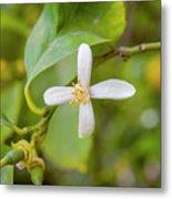 Lemon Blossoms 1 Metal Print