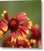 Lemon Yellow And Candy Apple Red Coneflower Metal Print