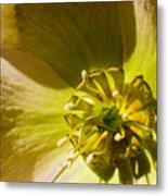 Lenten Rose Study Metal Print