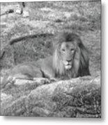 Leo The Lion..... Metal Print