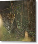 Leopard Comes Out Of The Bush Metal Print