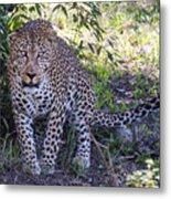 Leopard Front Metal Print