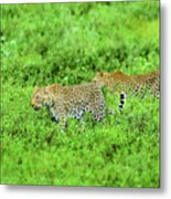 Leopard On The Move Metal Print