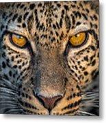 Leopard Panthera Pardus, Ndutu Metal Print
